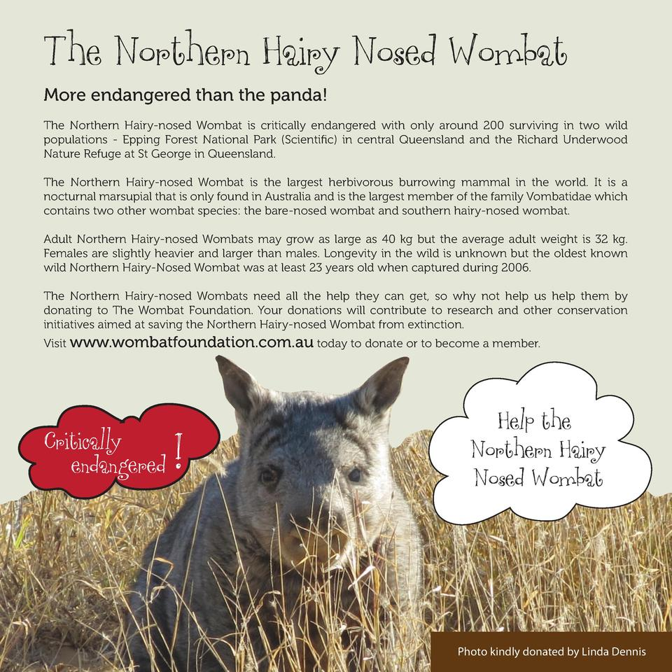 The Northern Hairy Nosed Wombat More endangered than the panda  The Northern Hairy-nosed Wombat is critically endangered w...