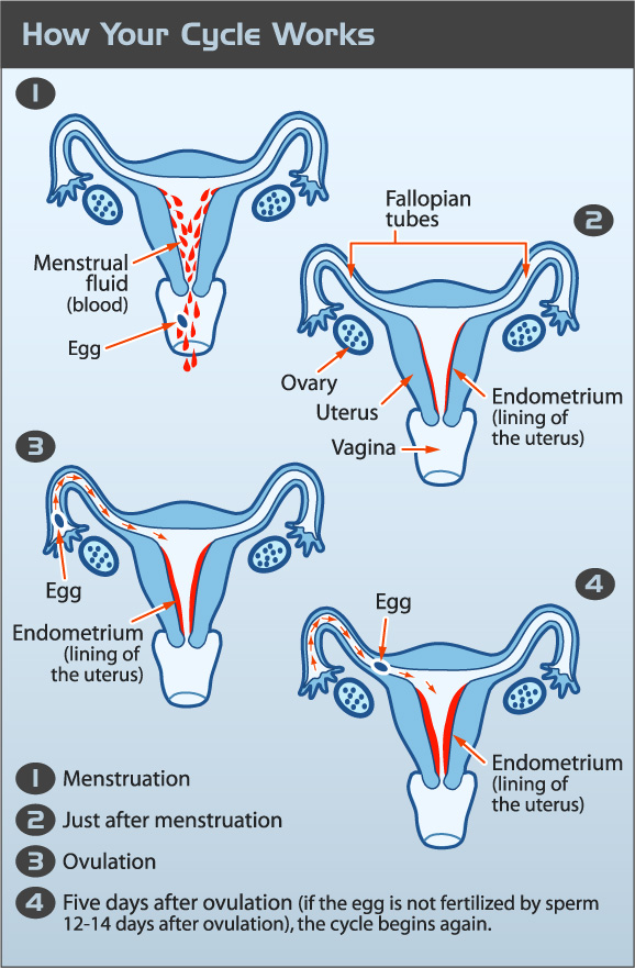 The effects of puberty on the female body and the importance of the menstrual cycle