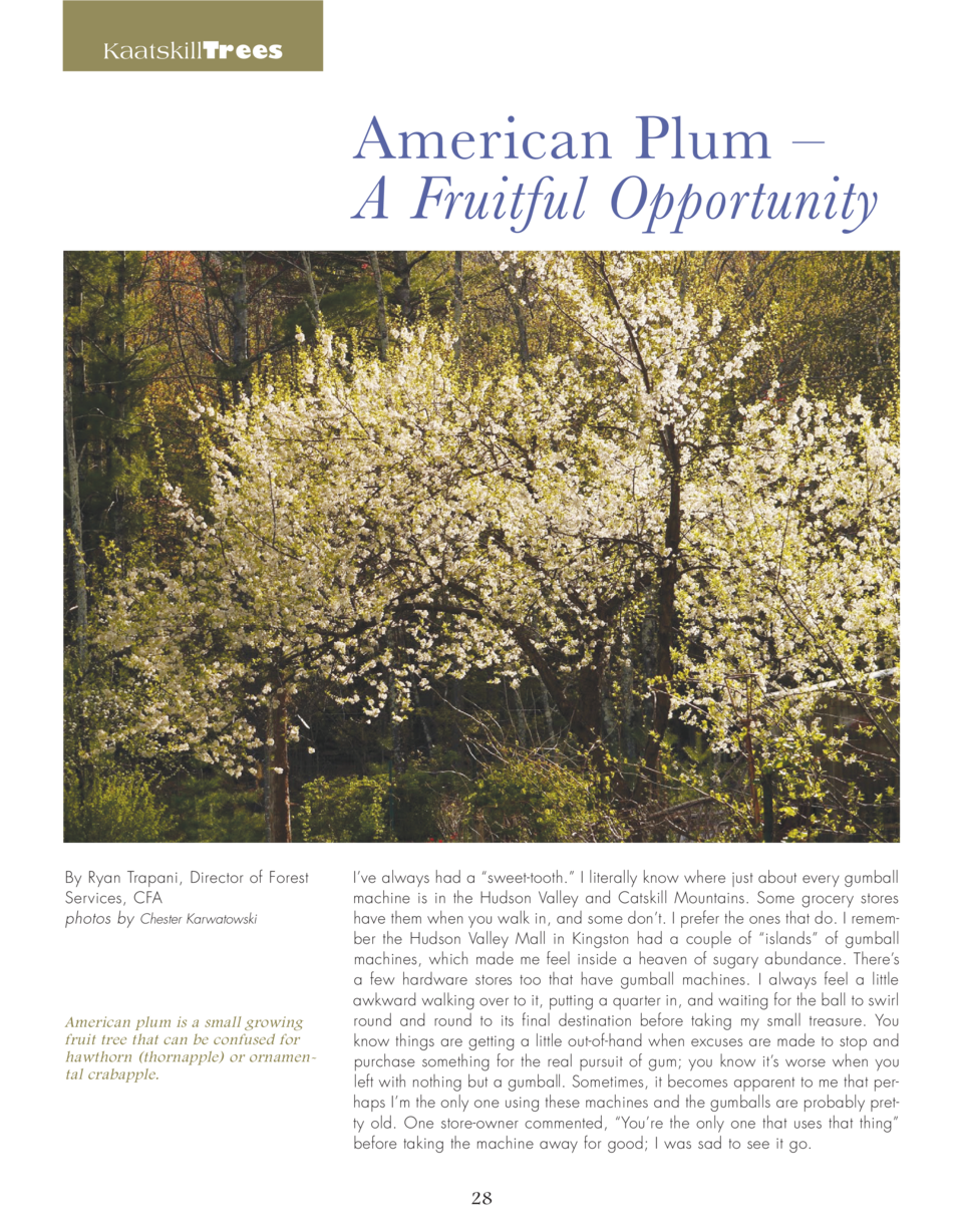 KaatskillTrees  American Plum     A Fruitful Opportunity  By Ryan Trapani, Director of Forest Services, CFA photos by Ches...