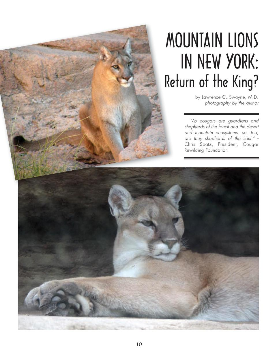 MOUNTAIN LIONS IN NEW YORK  Return of the King  by Lawrence C. Swayne, M.D. photography by the author     As cougars are g...