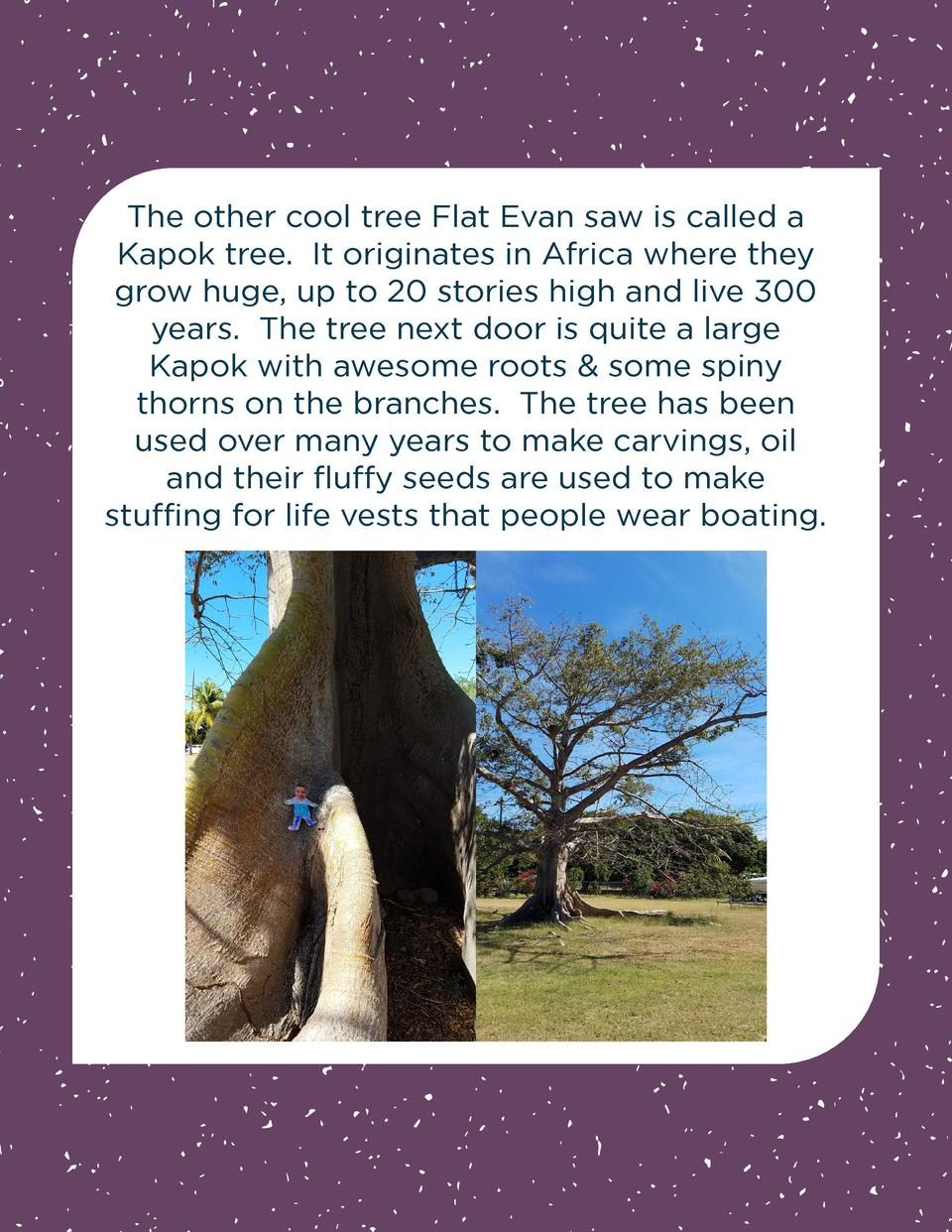 The other cool tree Flat Evan saw is called a Kapok tree. It originates in Africa where they grow huge, up to 20 stories h...