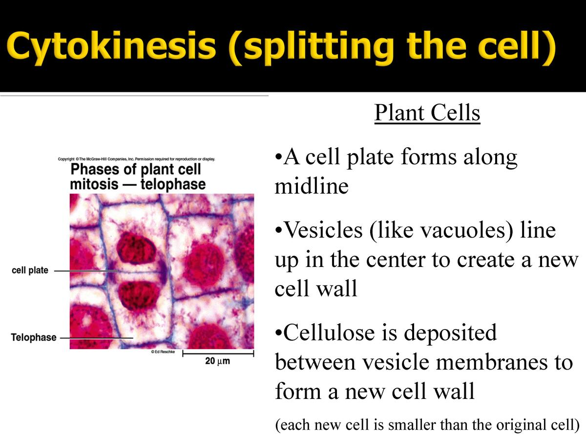 Plant Cells       A cell plate forms along midline       Vesicles  like vacuoles  line up in the center to create a new ce...