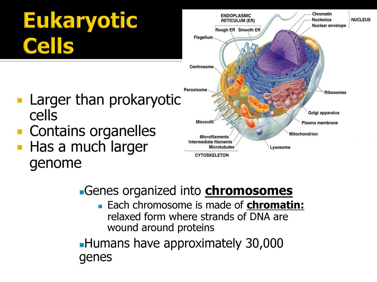 Larger than prokaryotic cells Contains organelles Has a much larger genome Genes organized into chromosome...