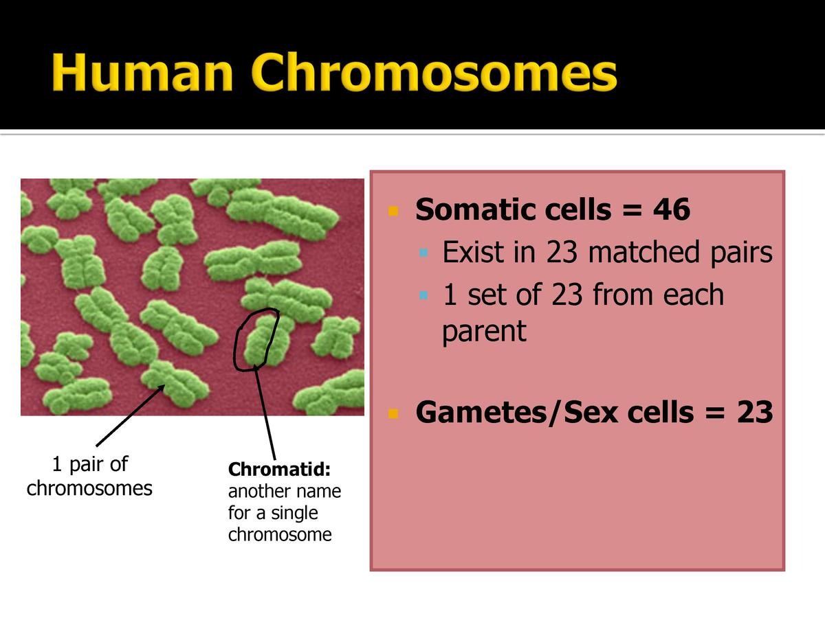 1 pair of chromosomes  Chromatid  another name for a single chromosome        Somatic cells   46      Exist in 23 matched ...