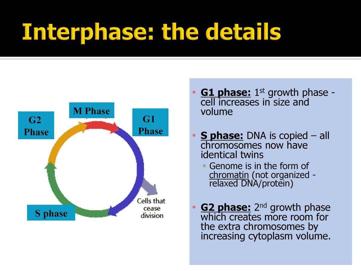 G2 Phase  M Phase  G1 Phase         G1 phase  1st growth phase cell increases in size and volume        S phase  DNA is co...