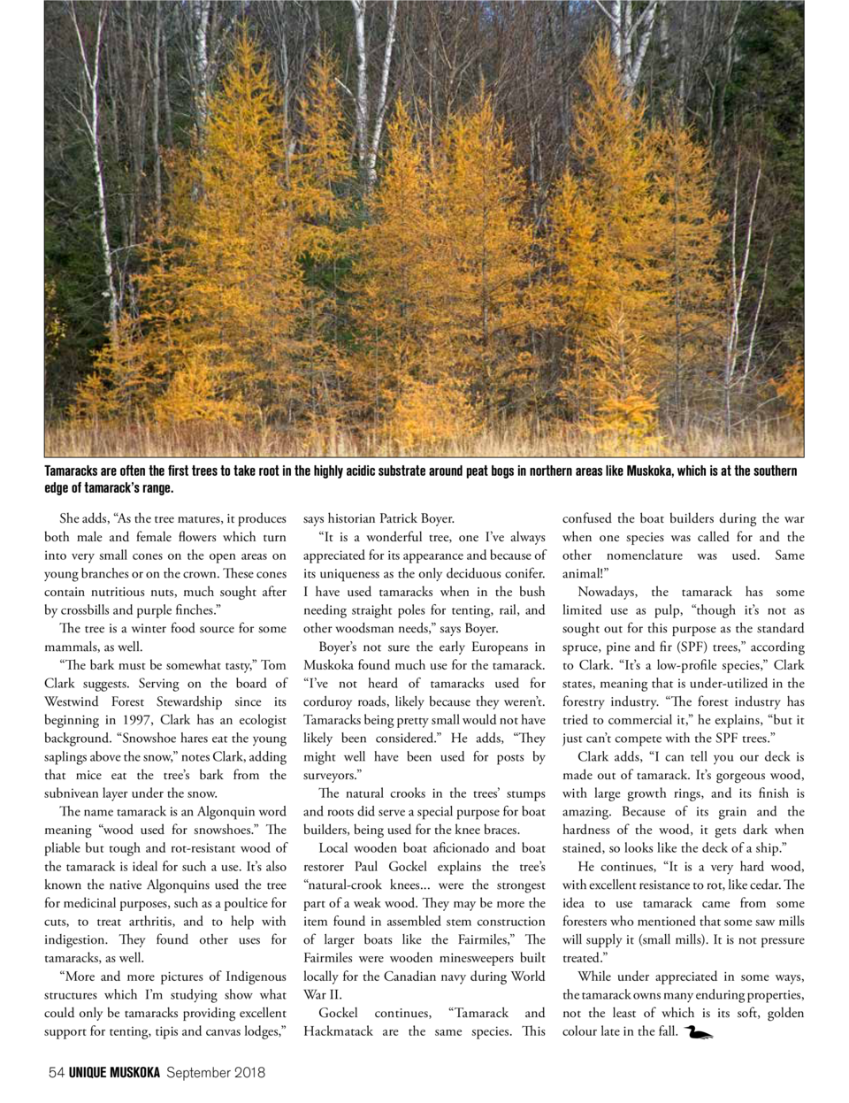 Tamaracks are often the first trees to take root in the highly acidic substrate around peat bogs in northern areas like Mu...