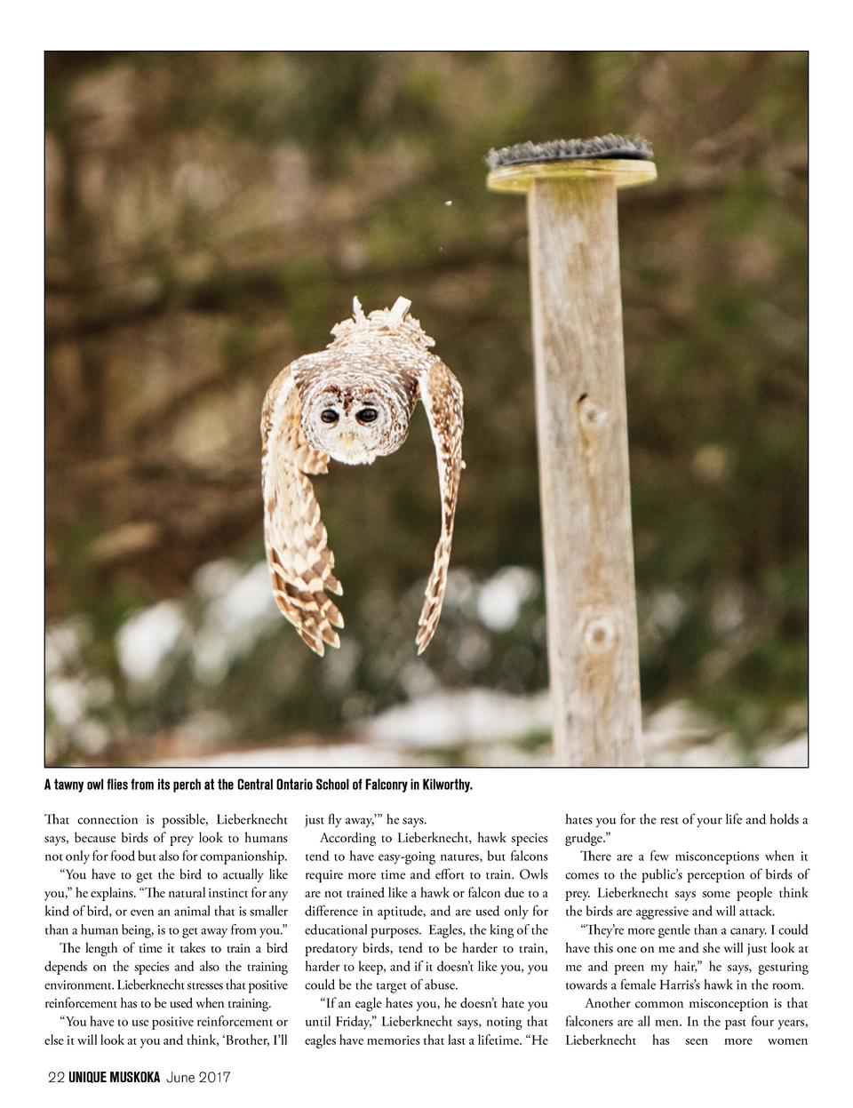 A tawny owl flies from its perch at the Central Ontario School of Falconry in Kilworthy. That connection is possible, Lieb...