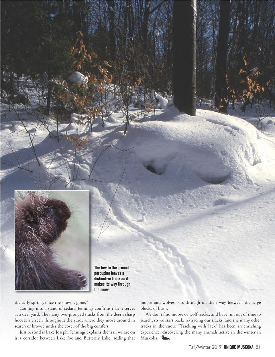 The low-to-the-ground porcupine leaves a distinctive track as it makes its way through the snow. the early spring, once th...