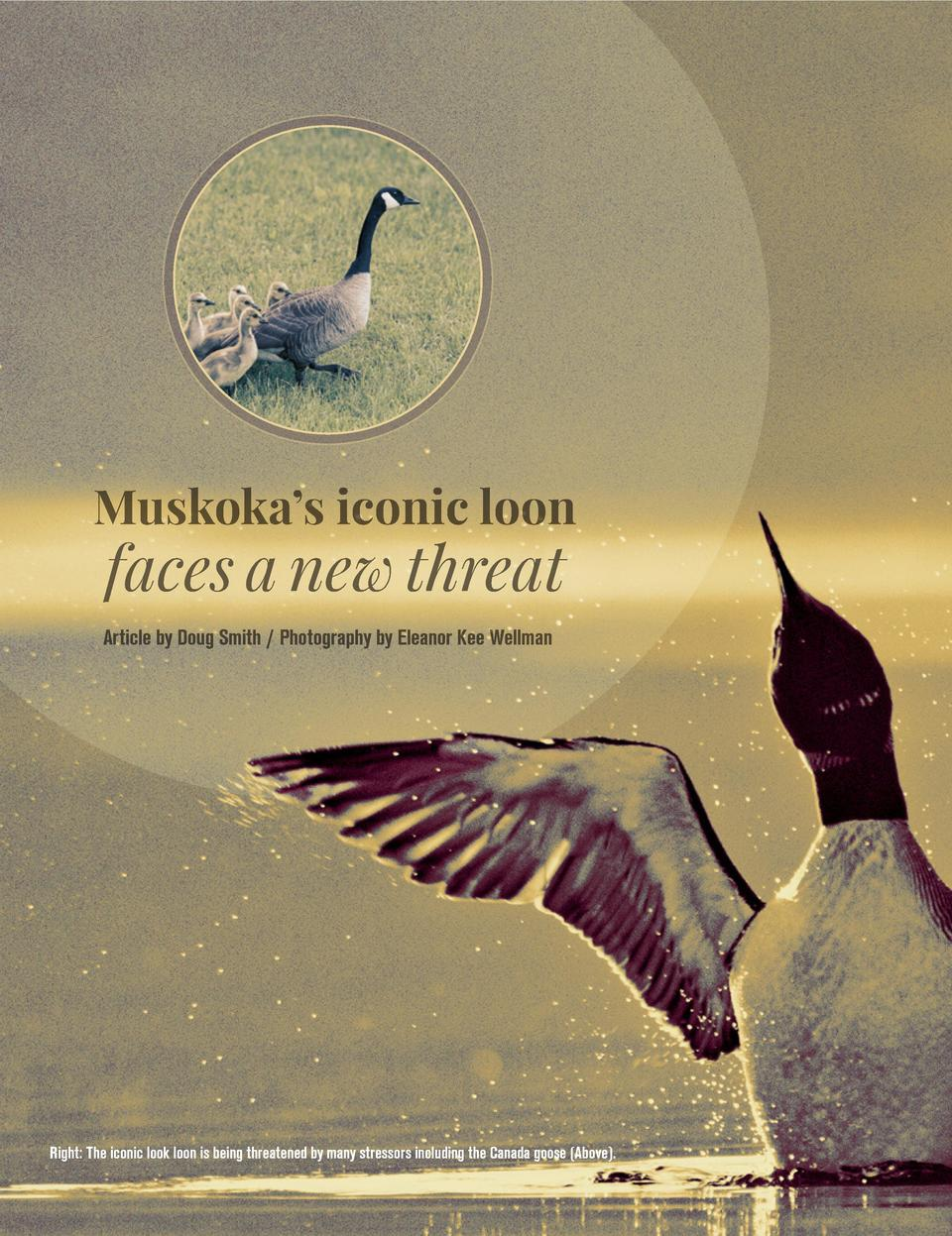 Muskoka   s iconic loon  faces a new threat  Article by Doug Smith   Photography by Eleanor Kee Wellman  Right  The iconic...