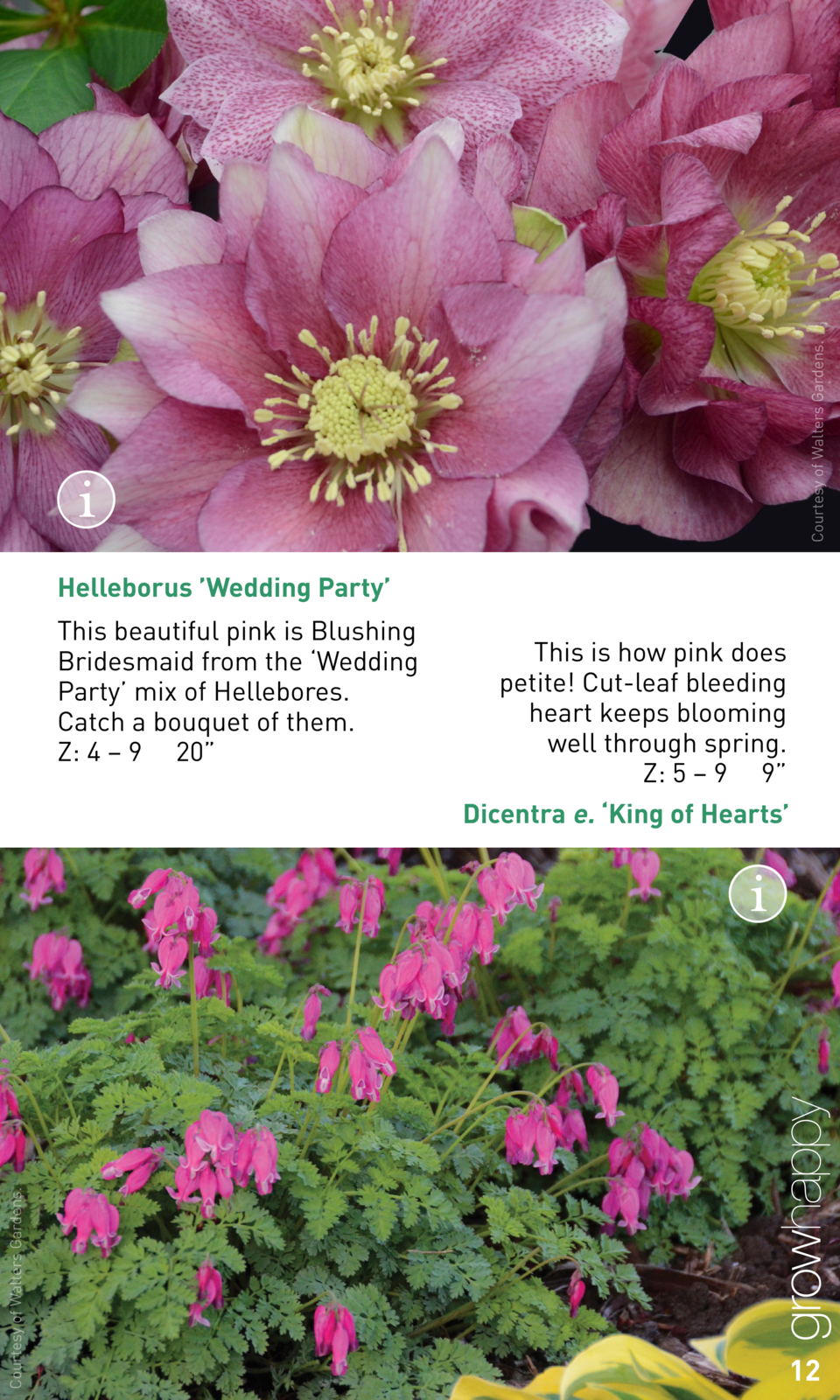 Courtesy of Walters Gardens.  Helleborus    Wedding Party    This beautiful pink is Blushing Bridesmaid from the    Weddin...