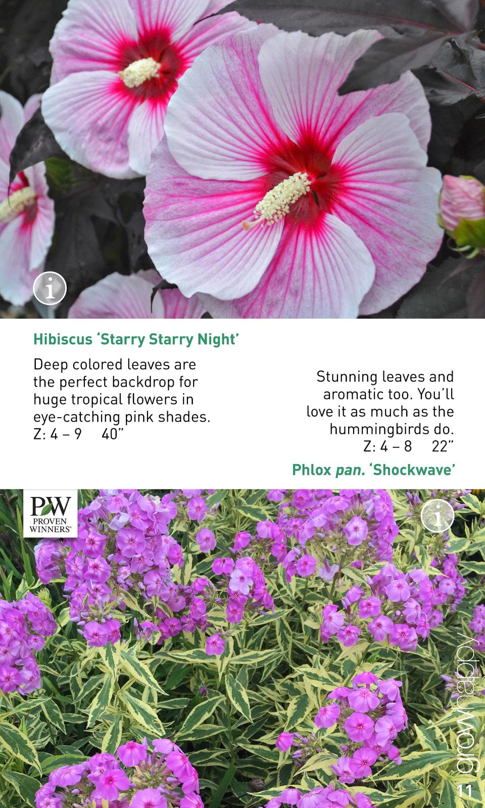 Hibiscus    Starry Starry Night    Deep colored leaves are the perfect backdrop for huge tropical flowers in eye-catching ...