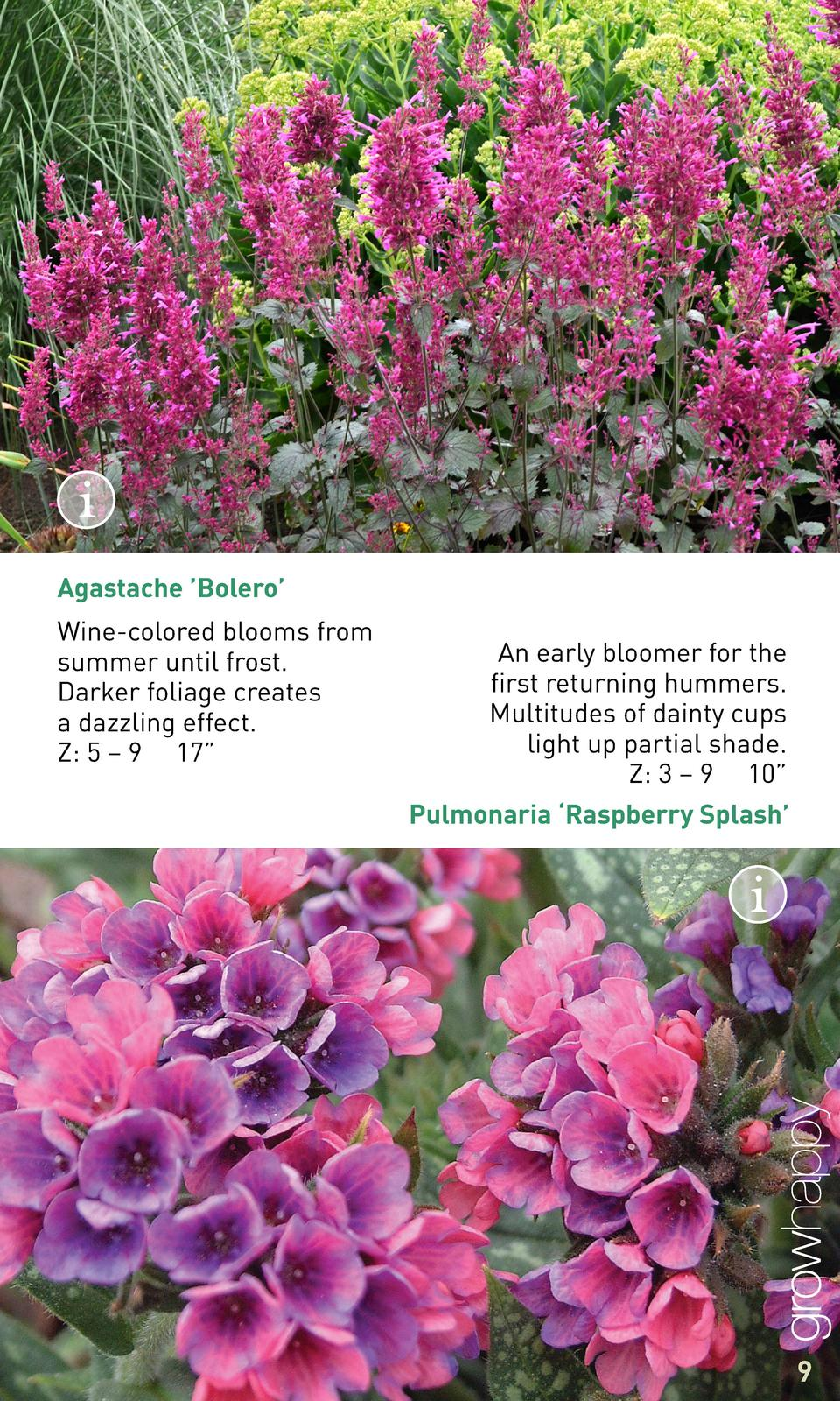 Agastache    Bolero    Wine-colored blooms from summer until frost. Darker foliage creates a dazzling effect. Z  5     9 1...