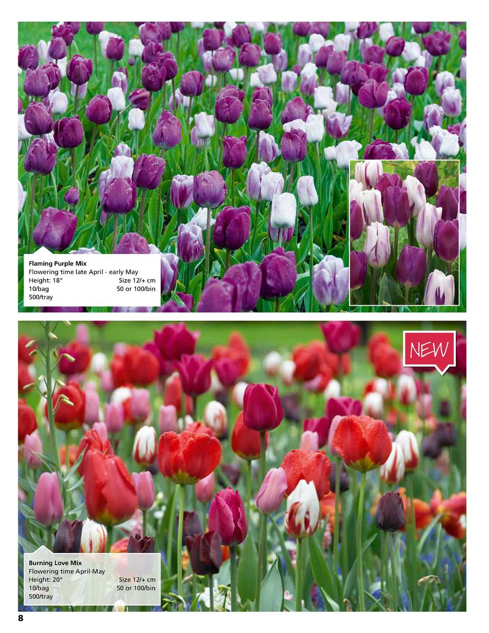 Flaming Purple Mix Flowering time late April - early May Height  18   Size 12   cm 10 bag  50 or 100 bin 500 tray  NEW  Bu...