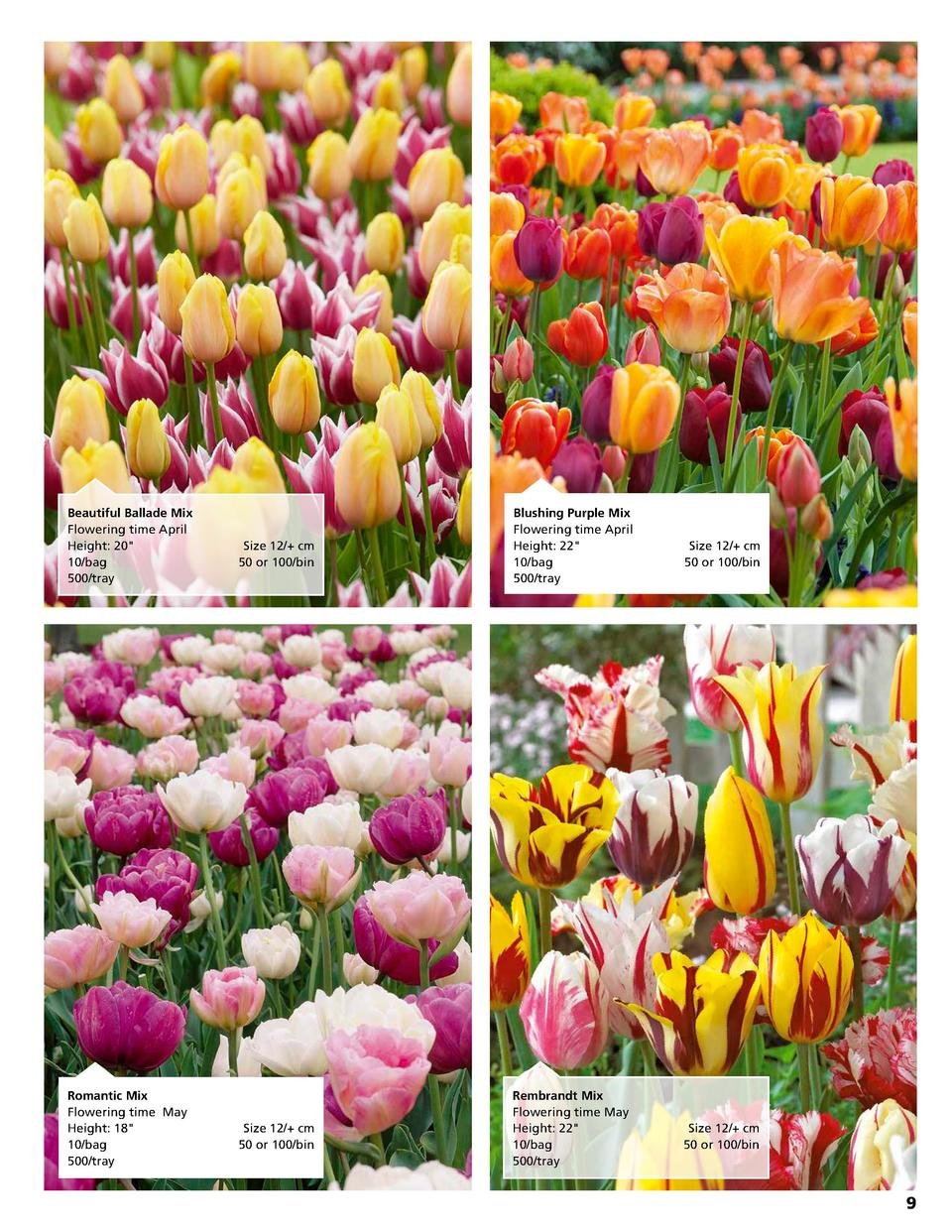 Beautiful Ballade Mix Flowering time April Height  20   10 bag  500 tray  Romantic Mix Flowering time May Height  18   10 ...