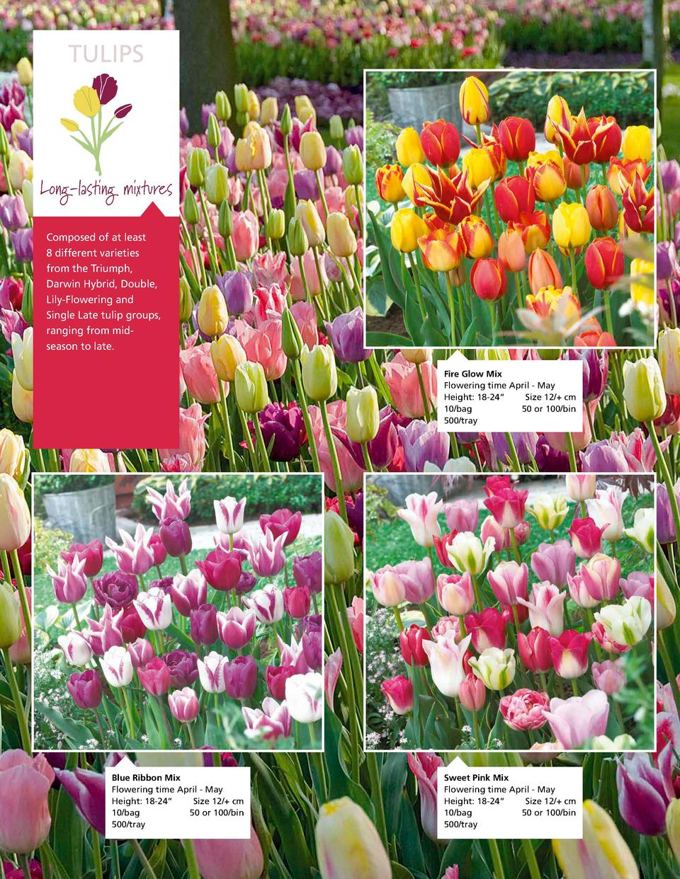 TULIPS  Long-lasting mixtures Composed of at least 8 different varieties from the Triumph, Darwin Hybrid, Double, Lily-Flo...