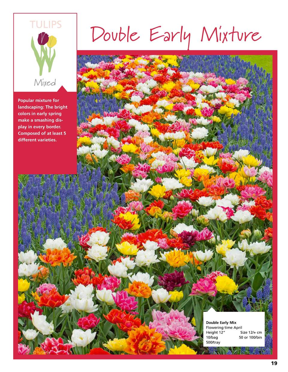 TULIPS  Double Early Mixture  Mixed Popular mixture for landscaping  The bright colors in early spring make a smashing dis...