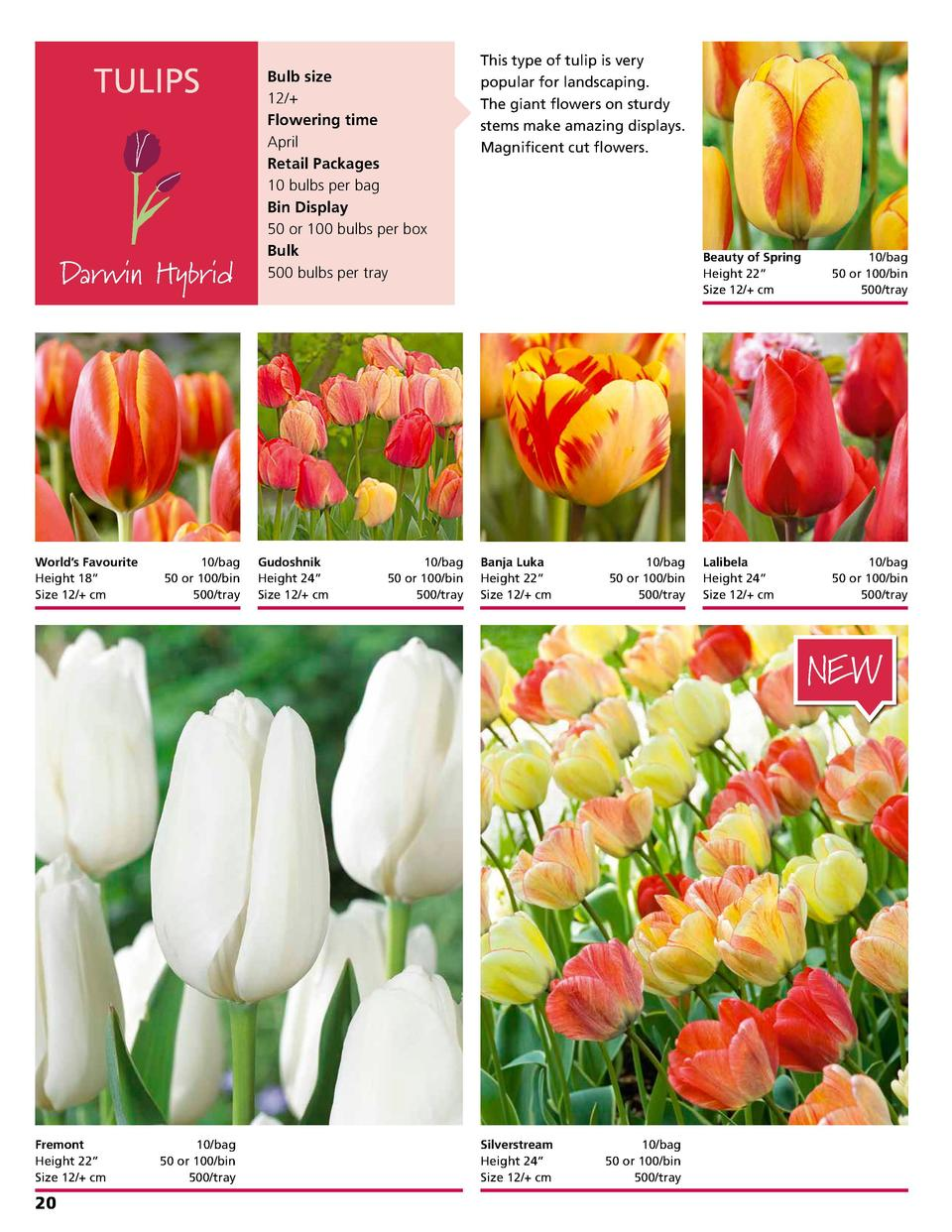 TULIPS  Darwin Hybrid  World   s Favourite  Height 18      Size 12   cm    10 bag 50 or 100 bin 500 tray  Bulb size 12   F...