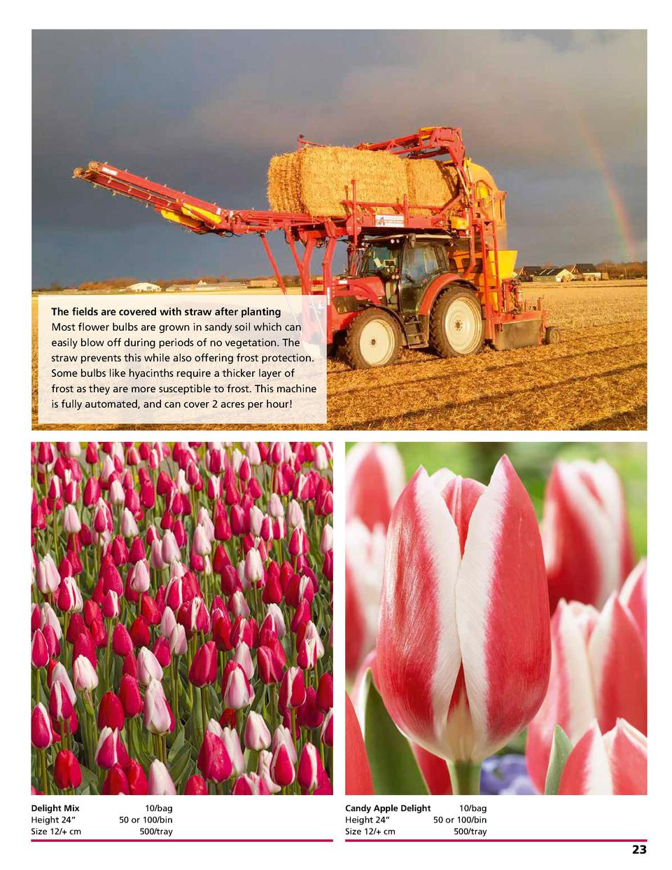 The fields are covered with straw after planting Most flower bulbs are grown in sandy soil which can easily blow off durin...