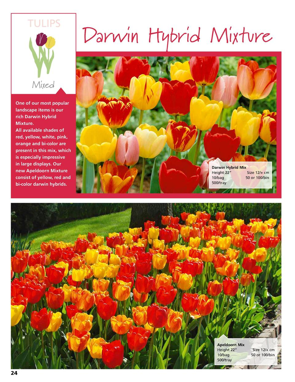 TULIPS  Darwin Hybrid Mixture  Mixed One of our most popular landscape items is our rich Darwin Hybrid Mixture. All availa...