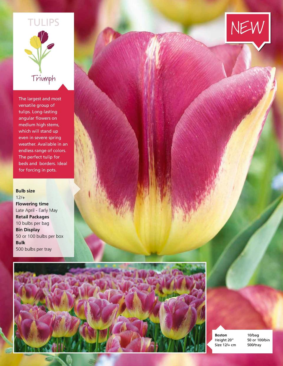 TULIPS  NEW  Triumph The largest and most versatile group of tulips. Long-lasting angular flowers on medium high stems, wh...