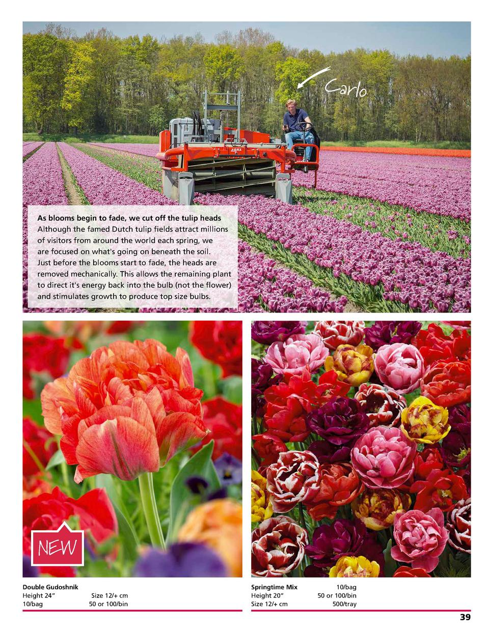 Ca rlo  As blooms begin to fade, we cut off the tulip heads Although the famed Dutch tulip fields attract millions of visi...