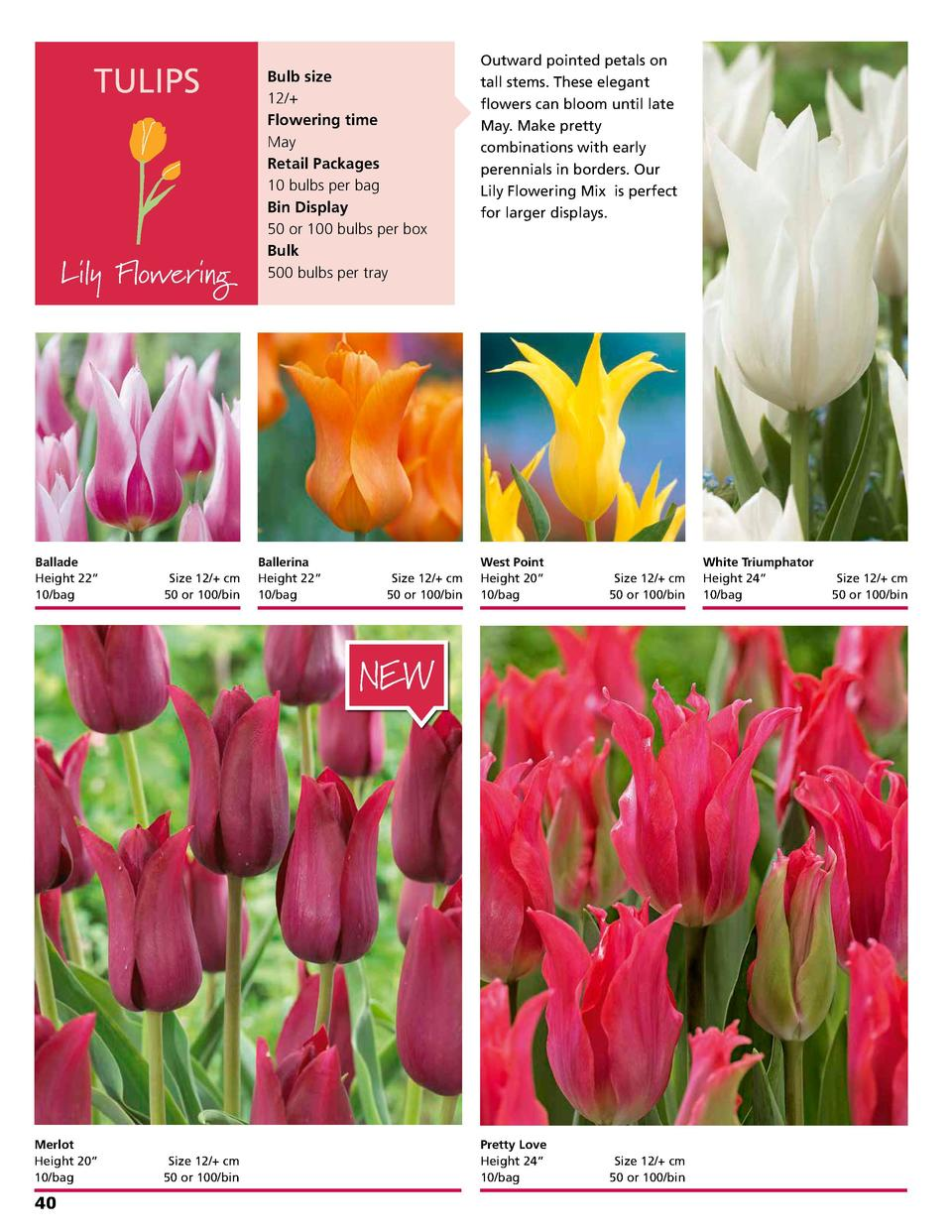 TULIPS  Lily Flowering  Ballade Height 22      10 bag   Size 12   cm 50 or 100 bin  Bulb size 12   Flowering time May Reta...
