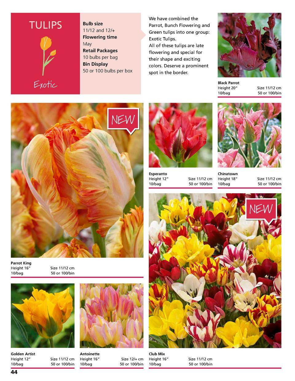 TULIPS  Bulb size 11 12 and 12   Flowering time May Retail Packages 10 bulbs per bag Bin Display 50 or 100 bulbs per box  ...