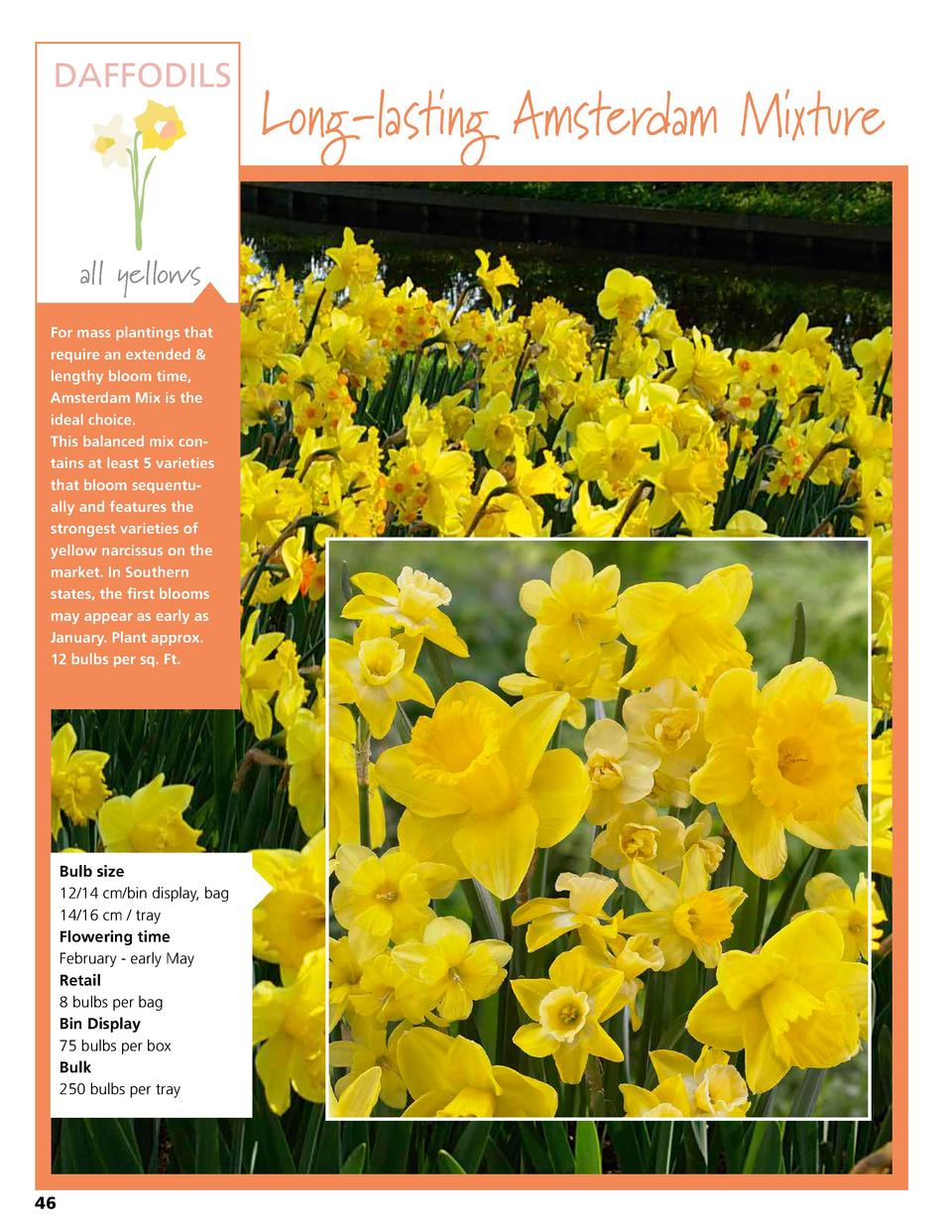 DAFFODILS  all yellows For mass plantings that require an extended   lengthy bloom time, Amsterdam Mix is the ideal choice...