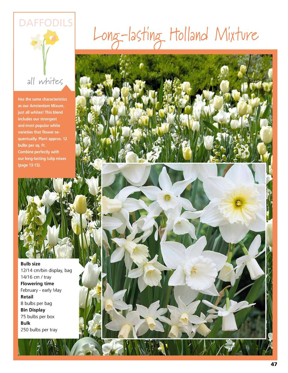 DAFFODILS  Long-lasting Holland Mixture  all whites Has the same characteristics as our Amsterdam Mixure, just all whites ...