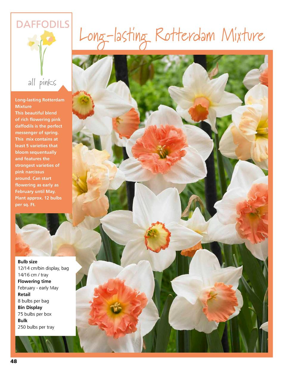 DAFFODILS  all pinks Long-lasting Rotterdam Mixture This beautiful blend of rich flowering pink daffodils is the perfect m...