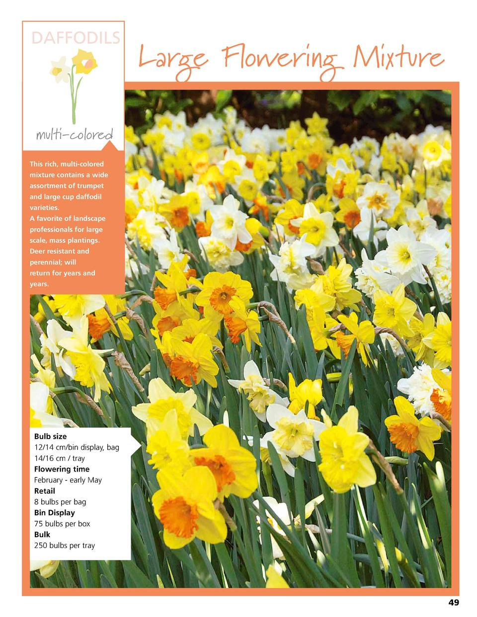 DAFFODILS  Large Flowering Mixture  multi-colored This rich, multi-colored mixture contains a wide assortment of trumpet a...