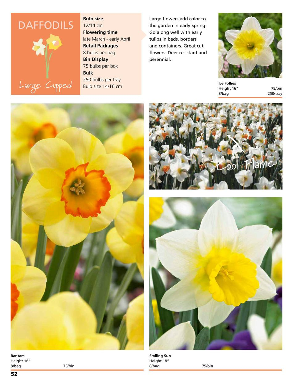 DAFFODILS  Large Cupped  Bulb size 12 14 cm Flowering time late March - early April Retail Packages 8 bulbs per bag Bin Di...