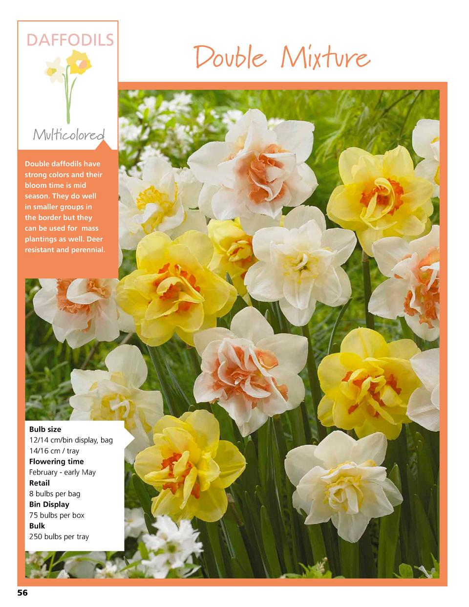 DAFFODILS  Multicolored Double daffodils have strong colors and their bloom time is mid season. They do well in smaller gr...
