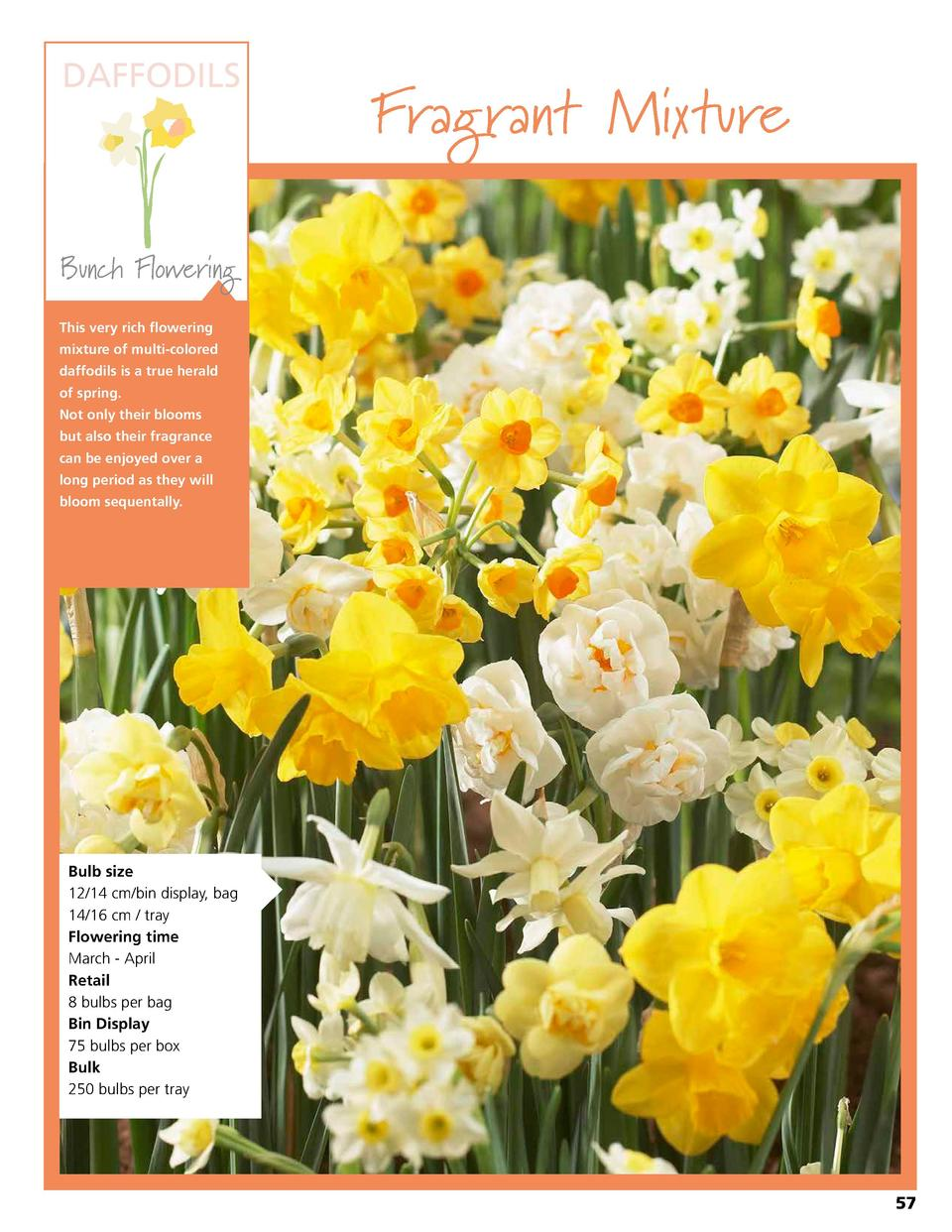 DAFFODILS  Fragrant Mixture  Bunch Flowering This very rich flowering mixture of multi-colored daffodils is a true herald ...