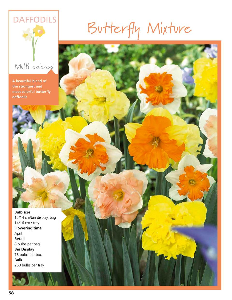 DAFFODILS  Multi colored A beautiful blend of the strongest and most colorful butterfly daffodils  Bulb size 12 14 cm bin ...