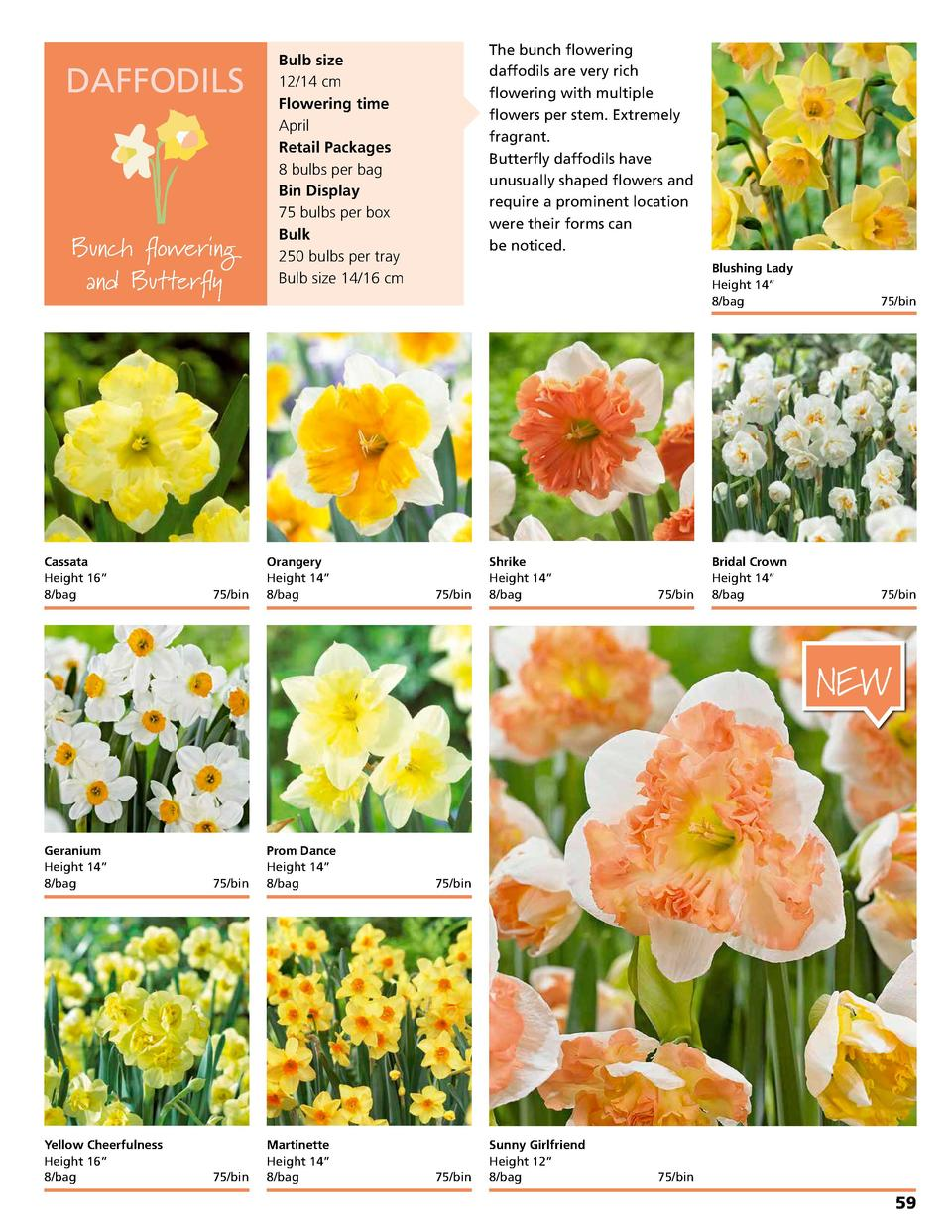 DAFFODILS  Bunch flowering and Butterfly  Cassata Height 16      8 bag 75 bin  Bulb size 12 14 cm Flowering time April Ret...