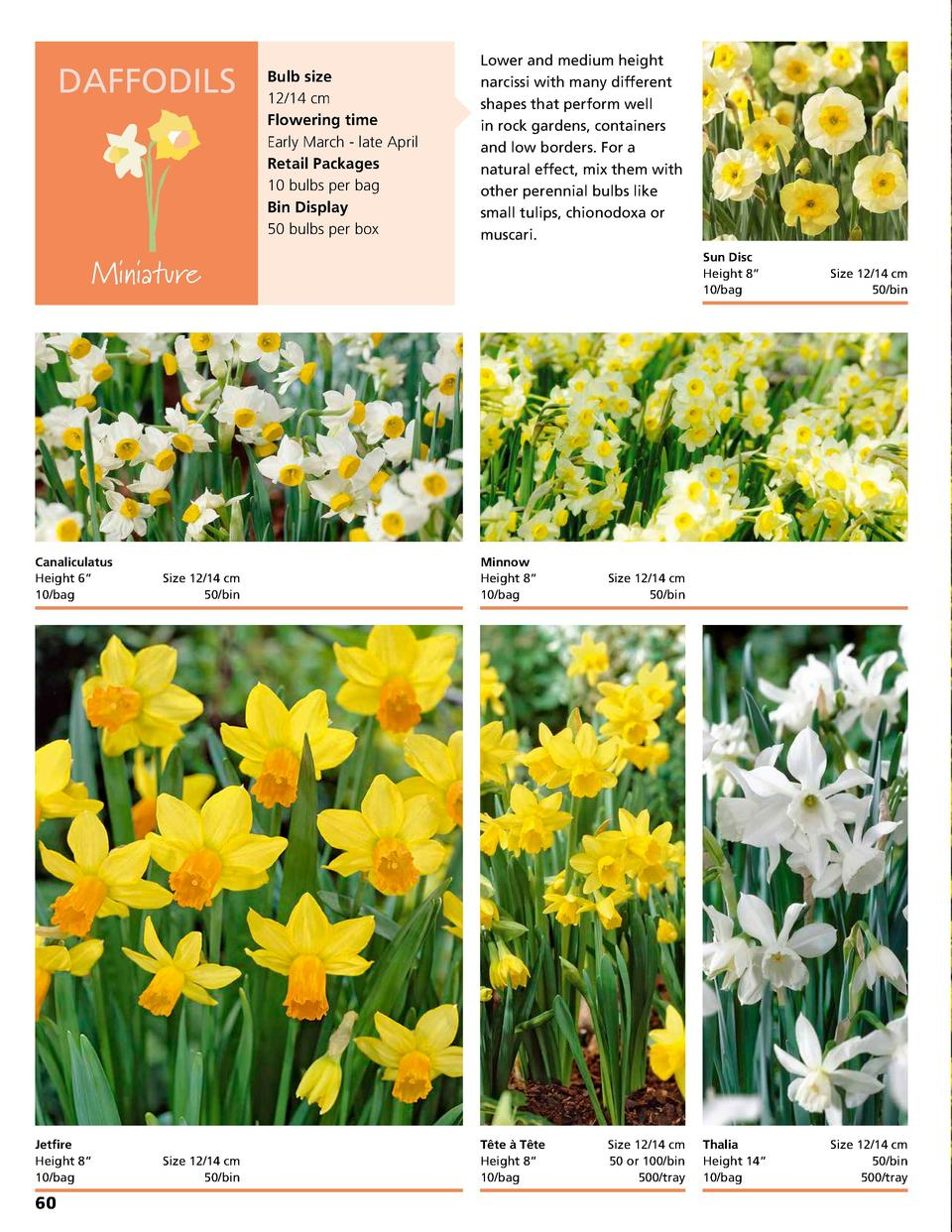 DAFFODILS  Bulb size 12 14 cm Flowering time Early March - late April Retail Packages 10 bulbs per bag Bin Display 50 bulb...