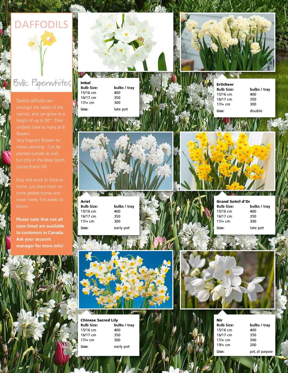 DAFFODILS  Bulk Paperwhites Tazetta daffodils are amongst the tallest of the narcissi, and can grow to a height of up to 3...