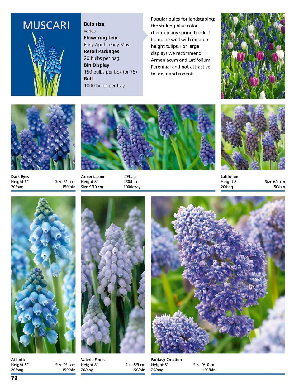 MUSCARI  Bulb size varies Flowering time Early April - early May Retail Packages 20 bulbs per bag Bin Display 150 bulbs pe...