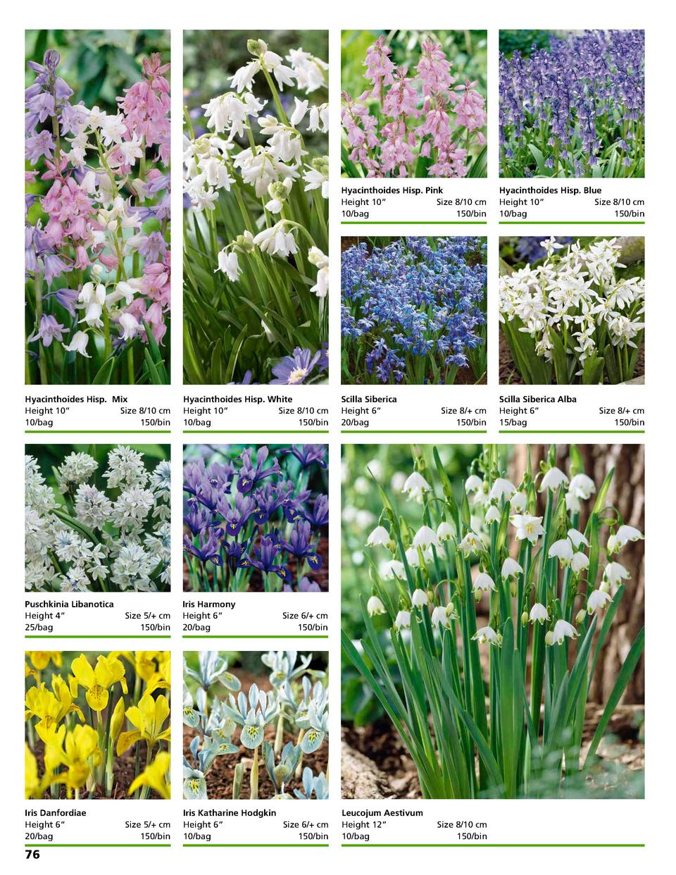Hyacinthoides Hisp. Mix Height 10      Size 8 10 cm 10 bag 150 bin  Hyacinthoides Hisp. White Height 10      Size 8 10 cm ...