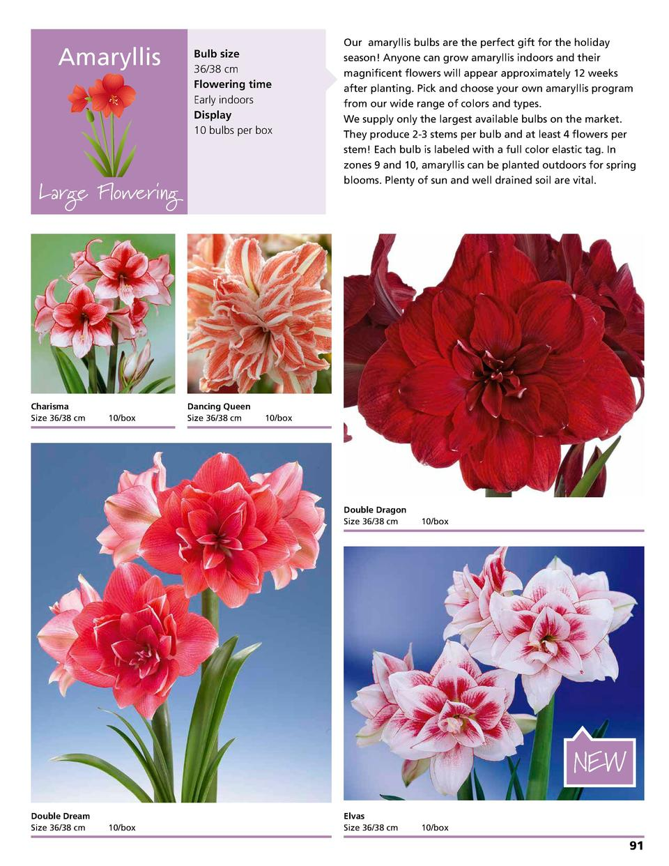 Amaryllis  Bulb size 36 38 cm Flowering time Early indoors Display 10 bulbs per box  Large Flowering  Charisma Size 36 38 ...