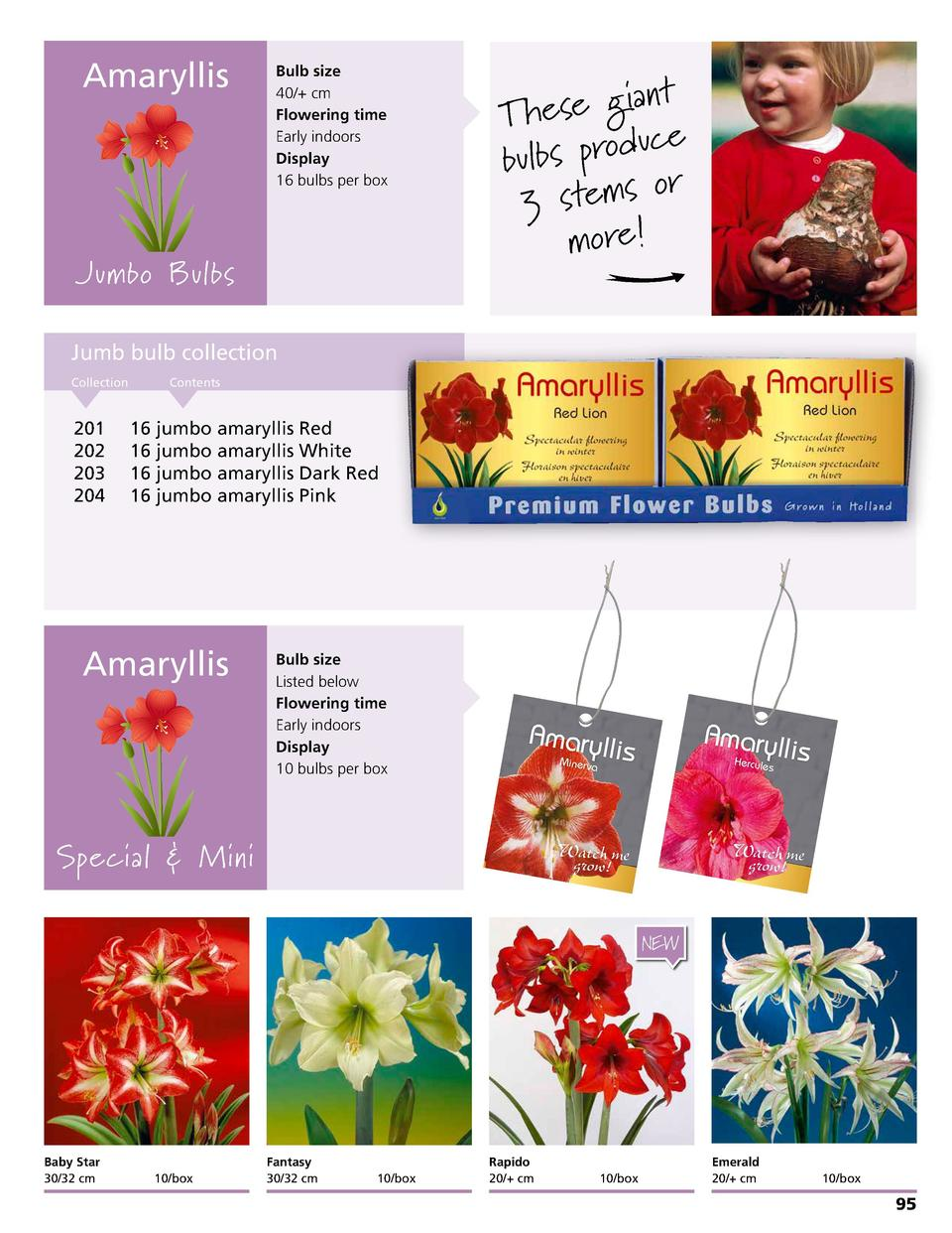 Amaryllis  Bulb size 40   cm Flowering time Early indoors Display 16 bulbs per box  ia nt g e s e h T ce u d o r p s b l b...