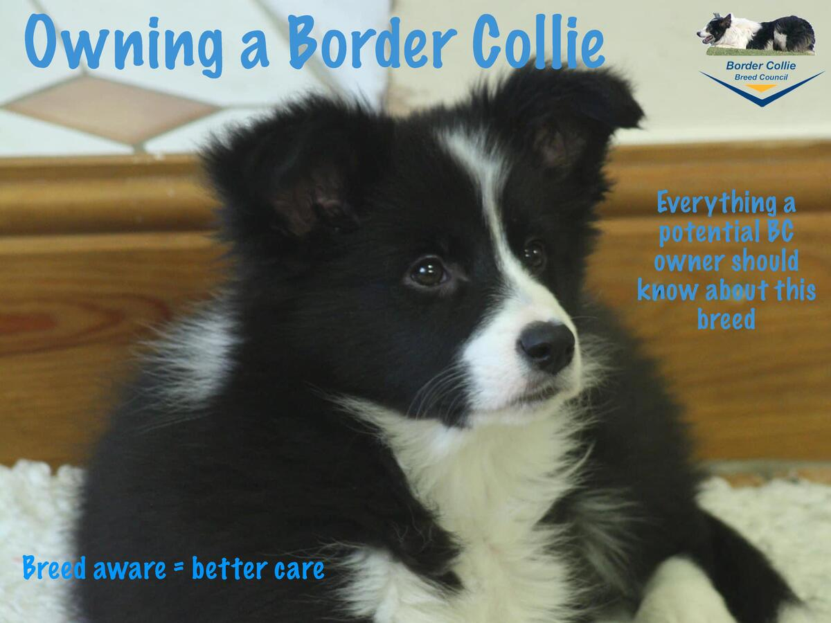 Owning a Border Collie Everything a potential BC owner should know about this breed  Breed aware   better care