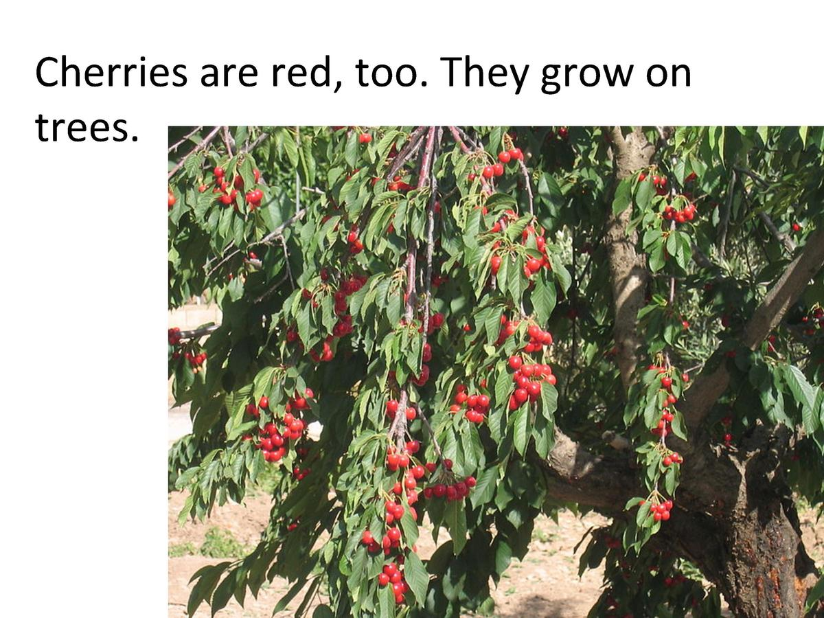 Cherries     are     red,     too.     They     grow     on      trees.