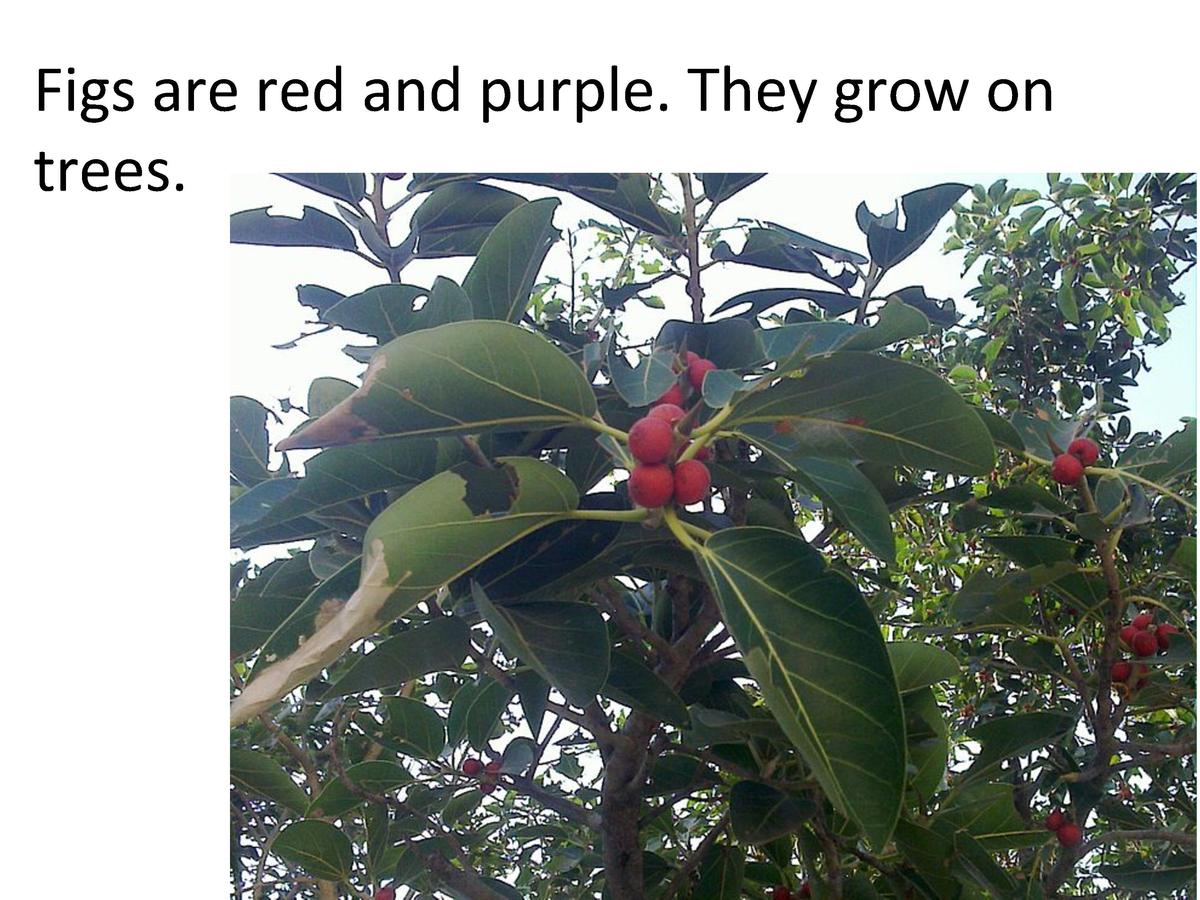 Figs     are     red     and     purple.     They     grow     on      trees.