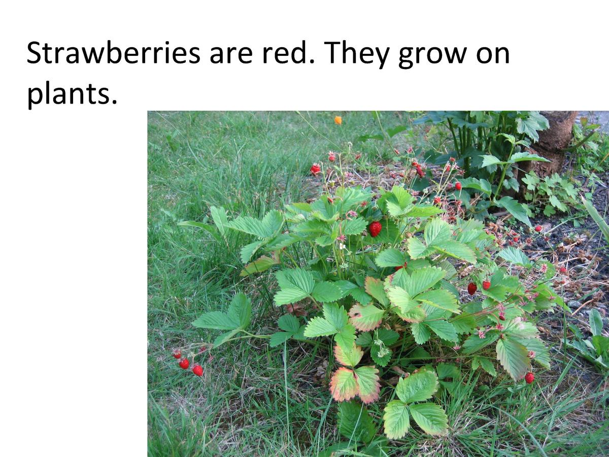 Strawberries     are     red.     They     grow     on      plants.